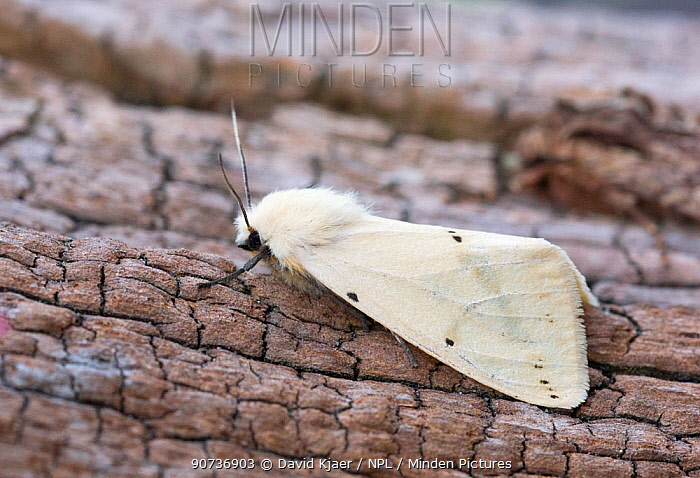 Buff ermin moth (Spilosoma luteum) female, Wiltshire, UK