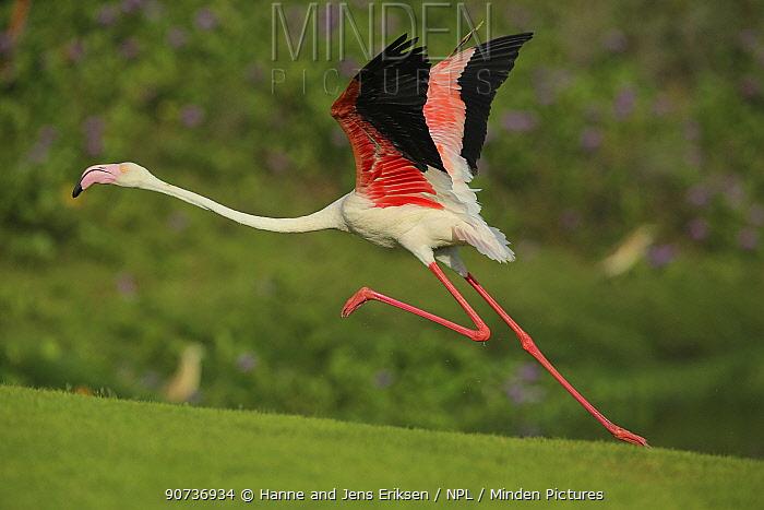 Greater flamingo (Phoenicopterus roseus) taking flight, Oman, November
