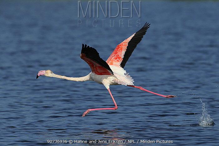 Greater flamingo (Phoenicopterus roseus) taking flight from lake, Oman, November