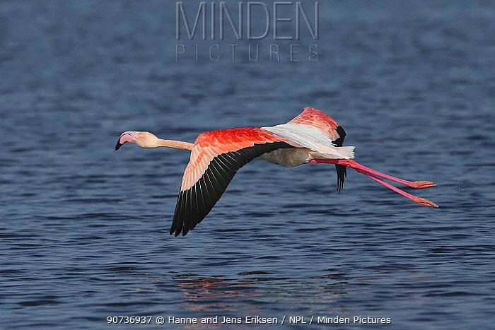 Greater flamingo (Phoenicopterus roseus) in flight over lake, Oman, November