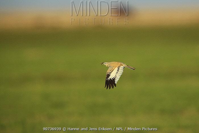 Greater hoopoe lark (Alaemon alaudipes) in flight with prey, Oman, Janauary