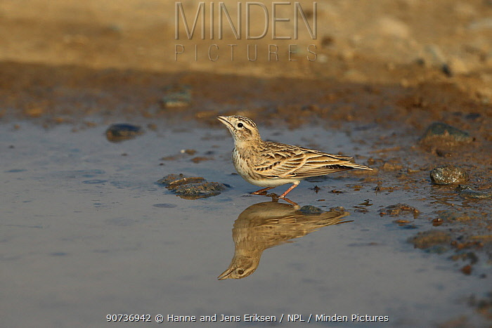 Greater short toed lark (Calandrella brachydactyla) at water and with reflection, Oman, December