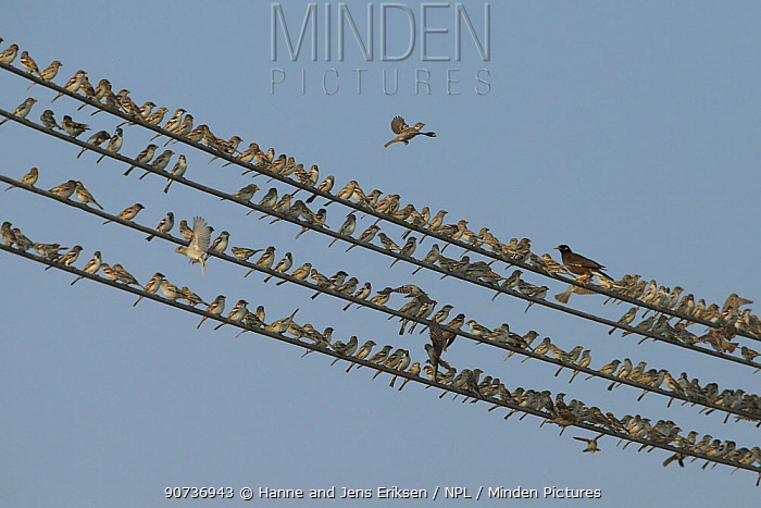 House sparrows (Passer domesticus) large flock perched on wires with a single Common myna, Oman, December