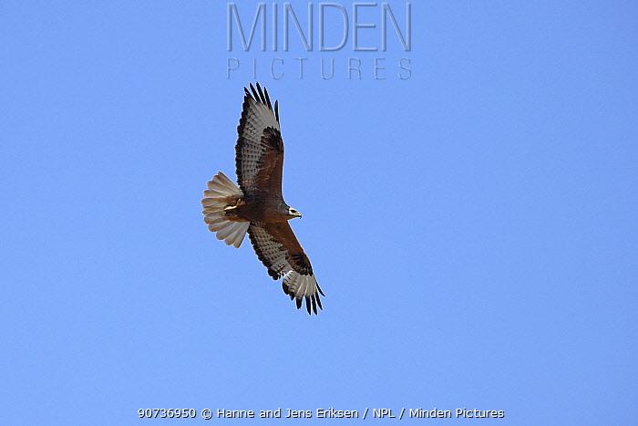 Long legged buzzard (Buteo rufinus) in flight, Oman, February