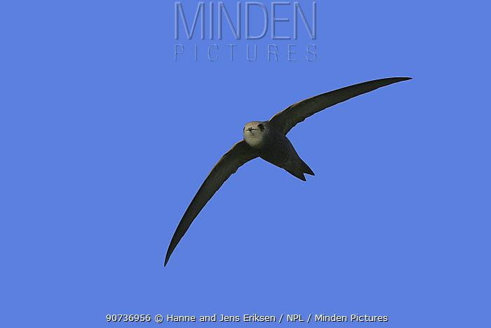 Pallid swift (Apus pallidus) in flight, Oman, January