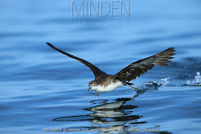 Persian shearwater (Puffinus persicus) running over water to take flight, Oman, November