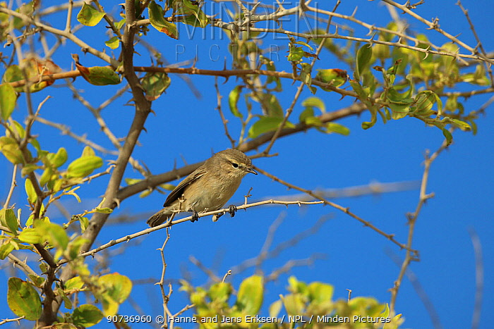 Plain leaf warbler (Phylloscopus neglectus) Oman, October