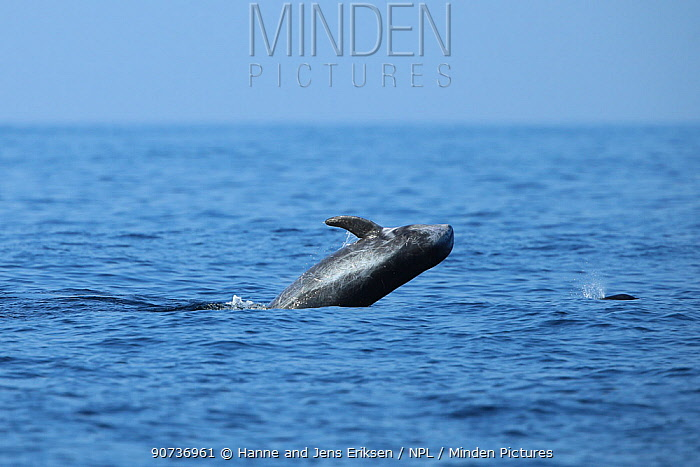 Risso's dolphin (Grampus griseus) breaching, Oman, November