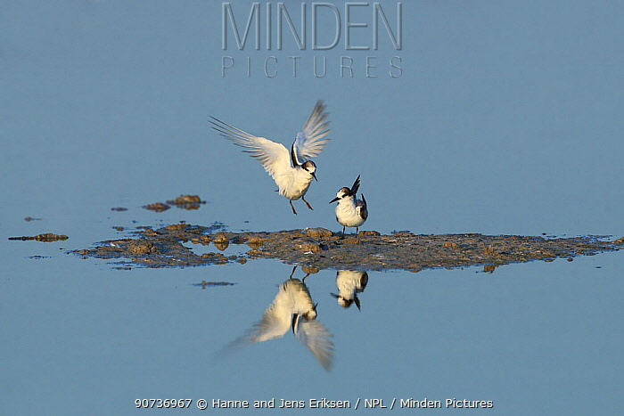 Saunders's tern (Sternula saundersi) two with one landing, Oman, November