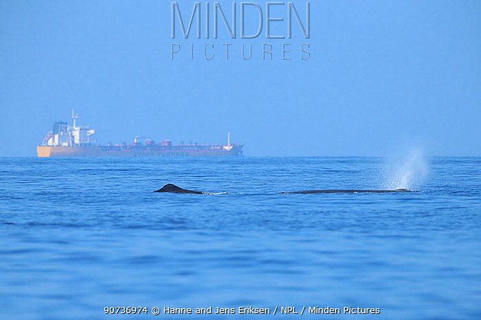Sperm whale (Physeter macrocephalus) with tanker in background, Oman, November