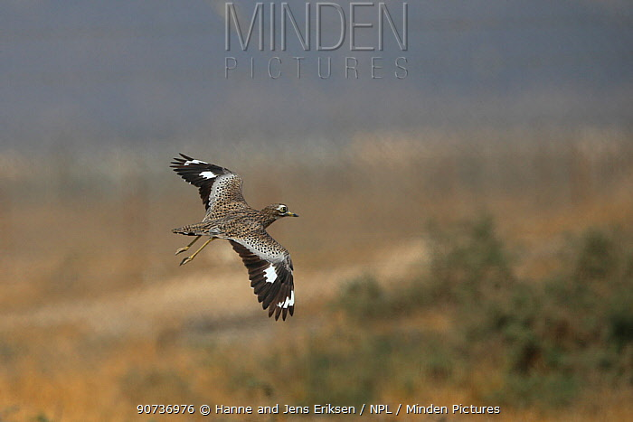 Spotted thick knee (Burhinus capensis) in flight, Oman, January