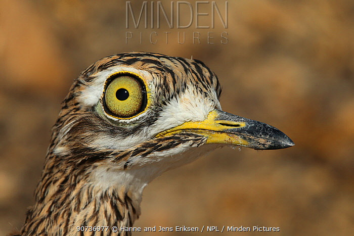 Spotted thick knee (Burhinus capensis) close up of head, Oman, January