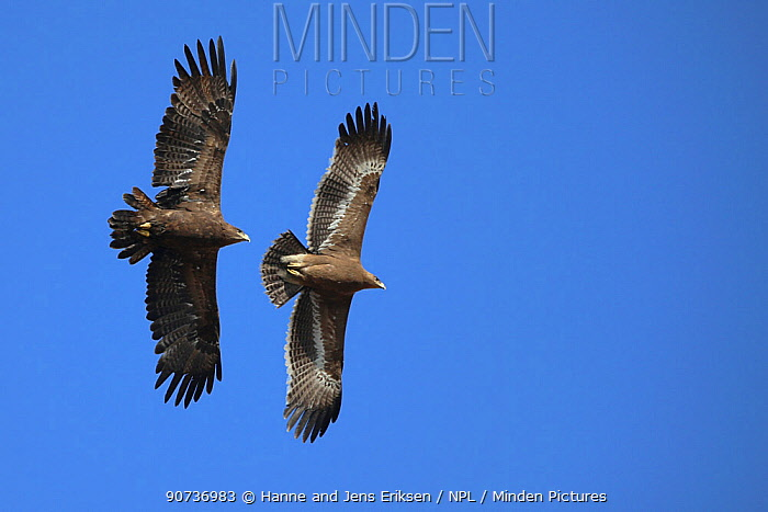 Steppe eagles (Aquila nipalensis) adult and immature in flight, Oman, January