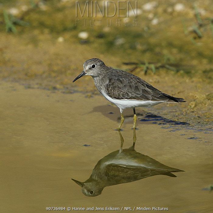 Temminck's stint (Calidris temminckii) at water with mirror reflection, Oman, November