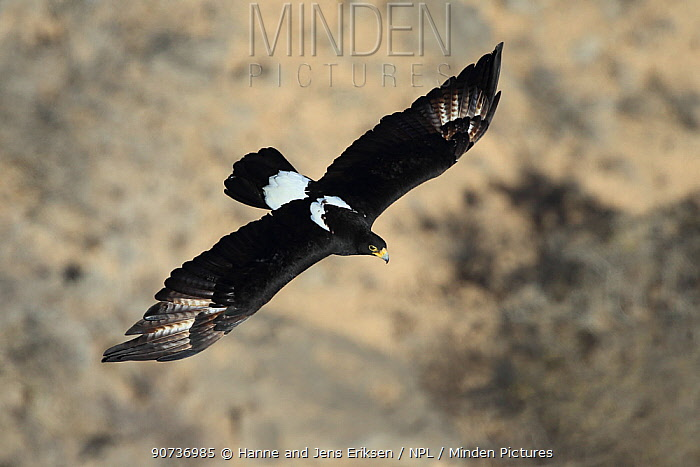 Verreaux's eagle (Aquila verreauxii) adult in flight, Oman, February