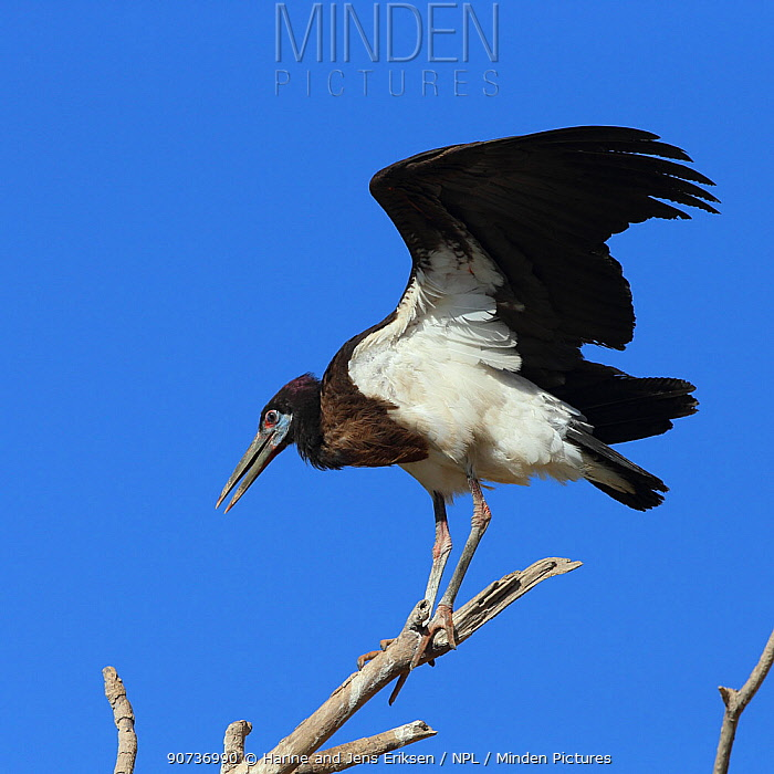 Abdim's stork (Ciconia abdimii) stretching wings from perch, Oman, February
