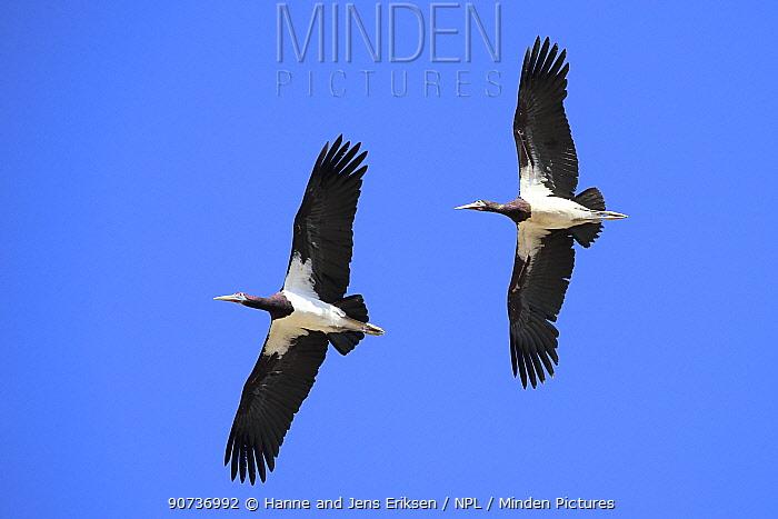 Abdim's stork (Ciconia abdimii) two in flight, Oman, February
