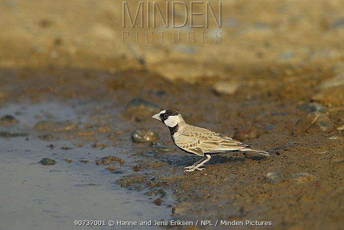 Black crowned sparrow lark (Eremopterix nigriceps) male at water, Oman, December
