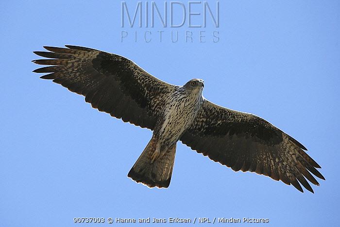 Bonelli's eagle (Aquila fasciata) adult in flight, Oman, November