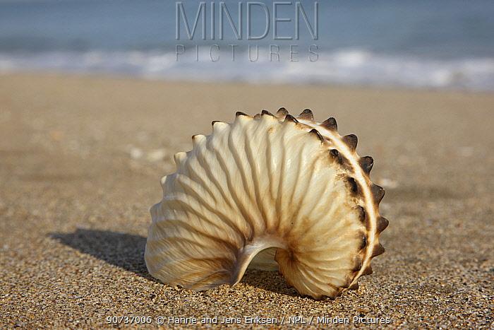 Brown paper nautilus (Argonauta hians) on beach where found, Oman, October