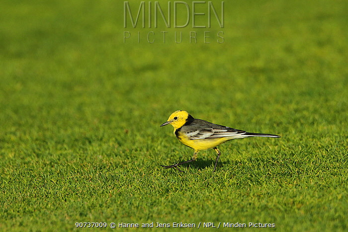Citrine wagtail (Motacilla citreola), male walking on golf course, Oman, February