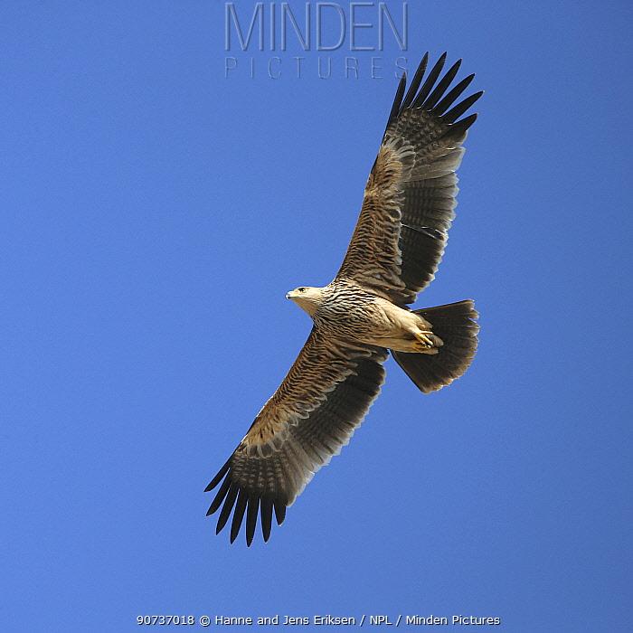 Eastern imperial eagle (Aquila heliaca) 1cy in flight, Oman, November
