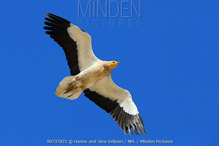Egyptian vulture (Neophron percnopterus) adult in flight, Oman, January