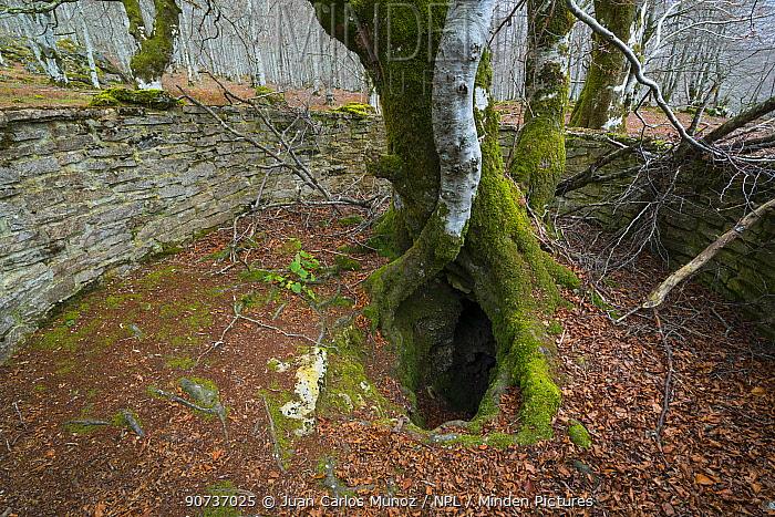 Twisted hollow of Beech tree (Fagus sylvatica), Urbasa Natural Park, Navarra, Spain, Europe