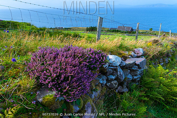 Purple heather (Calluna vulgaris) on coastal wall, Kells Seaside Area, Ring of Kerry, Iveragh Peninsula, County Kerry, Ireland, Europe. September 2015.