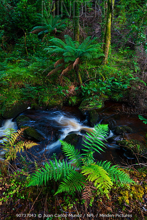 Arborescent Ferns (Cyatheaceae), Kells Bay Gardens, Ring of Kerry, Iveragh Peninsula, County Kerry, Ireland, Europe. September 2015.