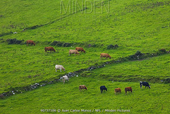 Cattle grazing from Kerry Cliffs, County Kerry, Ireland, Europe. September 2015.