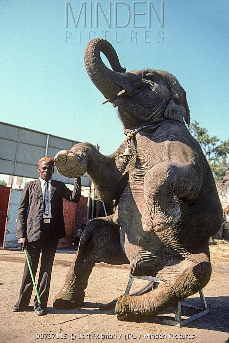 Circus elephant (Elephas maximus) sitting on stool with keeper with elephant hook, Great Royal Circus, Bombay / Mumbai, India.