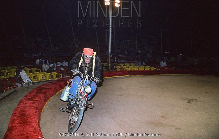 Chimpanzee (Pan troglodytes) riding bike, Great Royal Circus, Bombay / Mumbai, India.