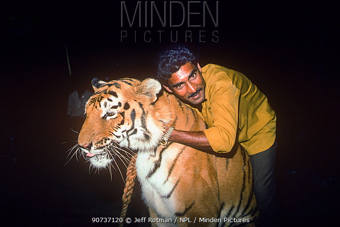 Big cat trainer with Tiger (Panthera tigris) Great Royal Circus, Bombay / Mumbai, India.