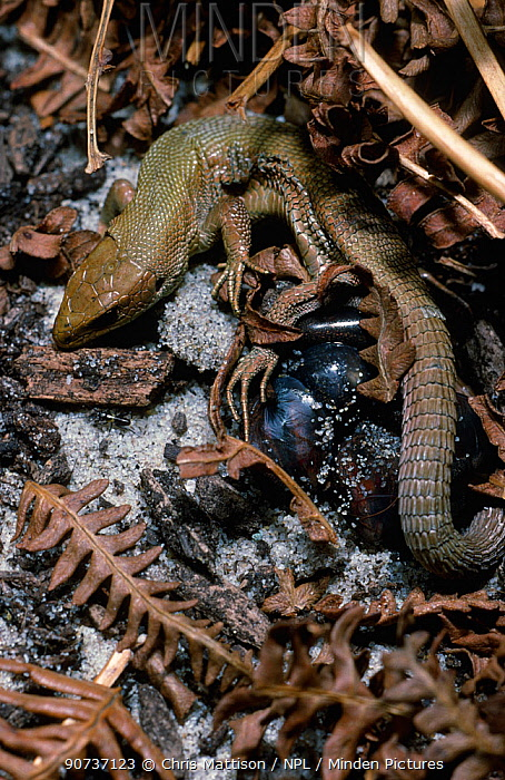 Common Lizard (Zootoca vivipara), giving birth to young in thin egg membranes, Derbyshire, England, UK. This species can both lay eggs and also give birth to live young in a thin egg membrane.