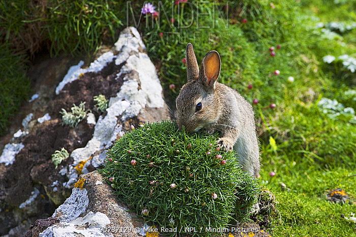Rabbit (Oryctolagus cuniculus) sniffing Thrift (Armeria maritima) Lunga Island, Treshnish Isles, Scotland, UK, May.