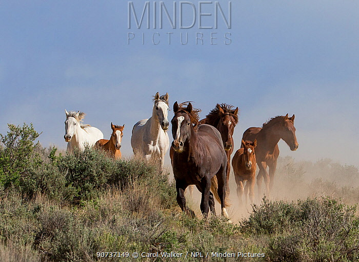 Wild Mustang stallion leading mares and foals to waterhole, Sand Wash Basin, Colorado, USA. June.