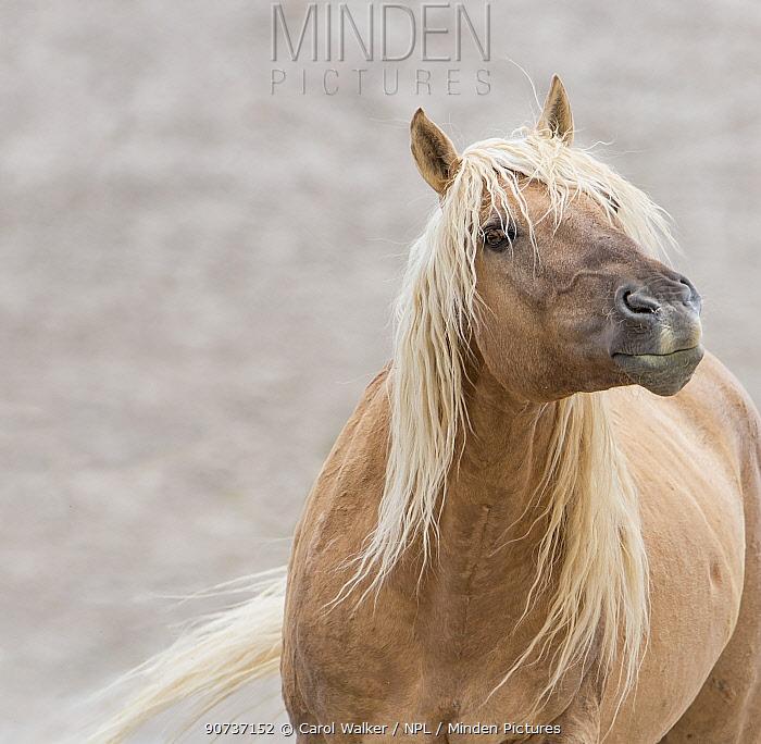 Wild dunalino Mustang stallion liftting his head in Sand Wash Basin, Colorado, USA. June.