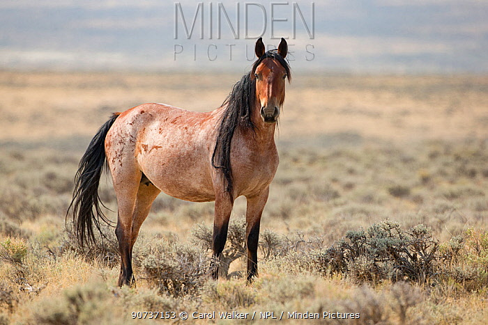Wild mustang red roan mare with long mane standing in Adobe Town Herd Area, Wyoming, USA. August 2012.