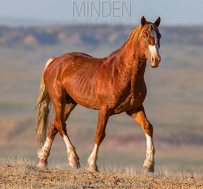 Wild Mustang chestnut bachelor stallion trotting in Adobe Town Herd Area, Wyoming, USA. June.