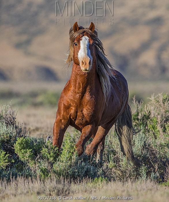 Wild Mustang sorrel stallion with one blue eye running, Adobe Town Herd Management Area, Wyoming, USA. June.