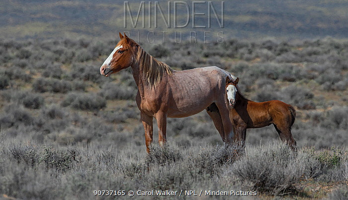 Wild red roan/pinto Mustang mare with bald faced foal in Adobe Town Herd Area, Wyoming, USA. April.