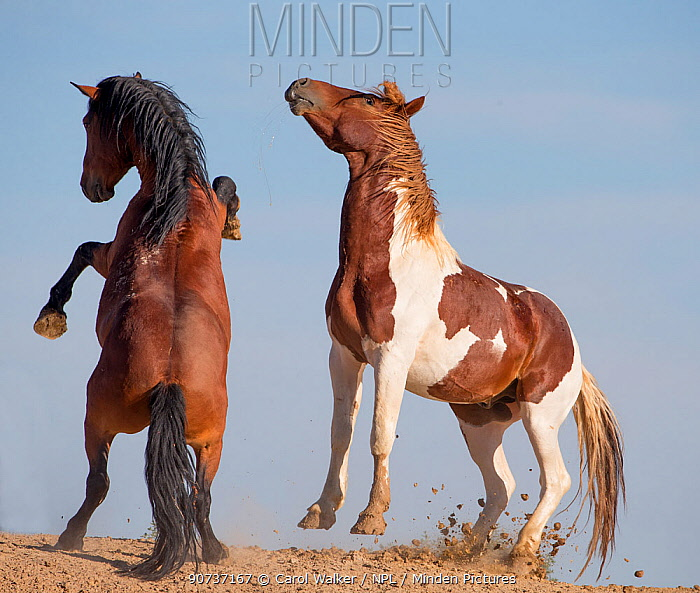 Two wild Mustang stallions face off in challenge, McCullough peaks, Wyoming, USA. September.
