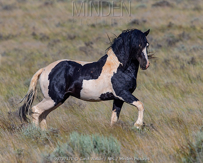 The wild pinto Mustang stallion Washakie trots in the McCullough Peaks Herd Area in Wyoming, USA. June.