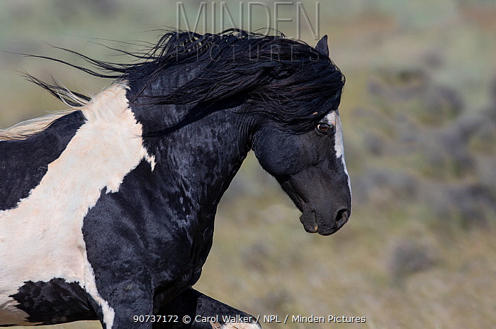 Wild pinto Mustang stallion running in McCullough Peaks Herd Area, Wyoming, USA. June.