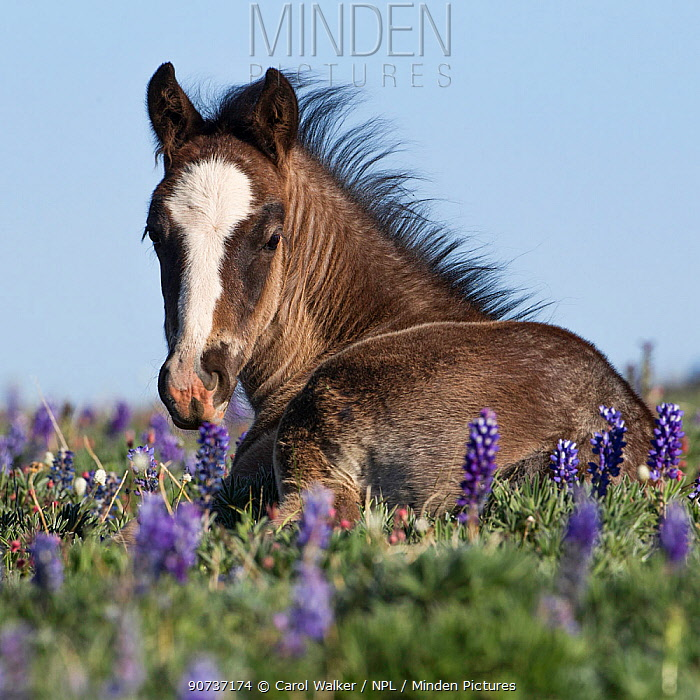 Wild Mustang foal resting in wildflowers, Pryor Mountains, Montana, USA. June.