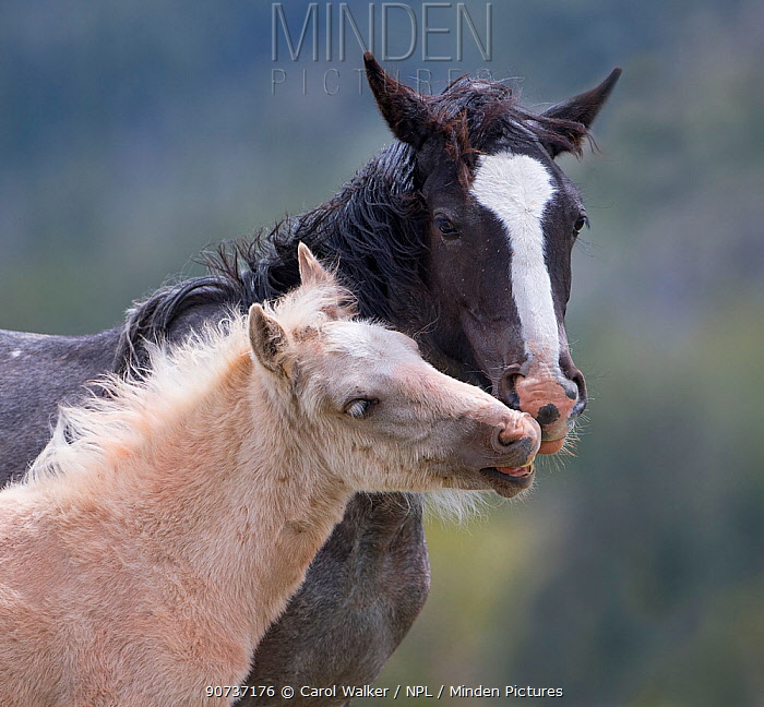Wild palomino Mustang foal interacting with mother head portrait, Pryor mountains, Montana, USA. June.