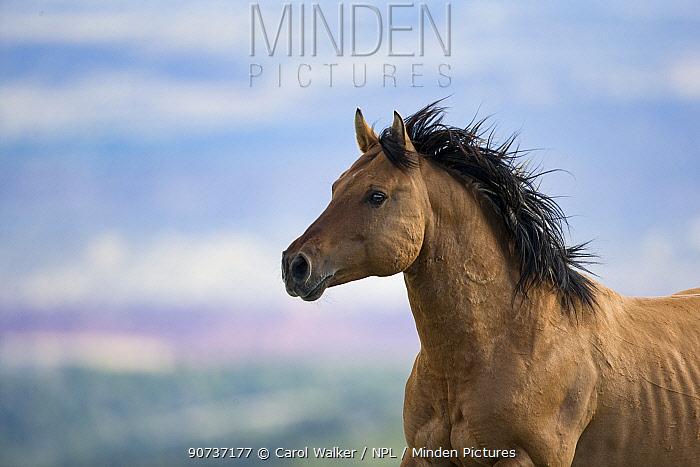 Wild Mustang horse running, Pryor Moountains, Montana, USA. June.