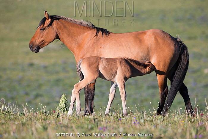 Wild mustang mare with filly suckling, Pryor Mountains, Montana, USA. June.
