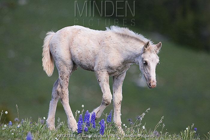 Wild palomino Mustang filly, Pryor Mountains, Montana, USA. June.